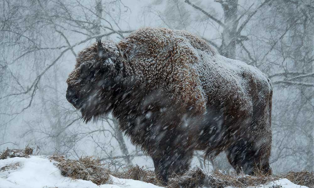 Altai Bison
