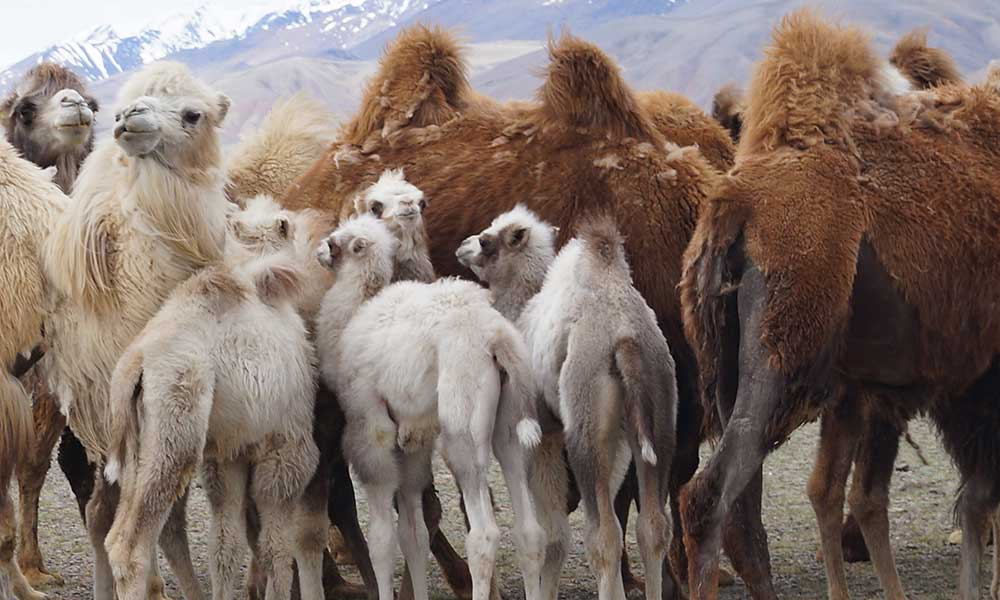 Altai Camels Chaga