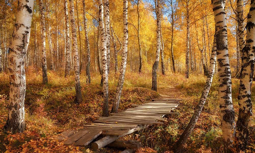 Chaga mushroom birch forest